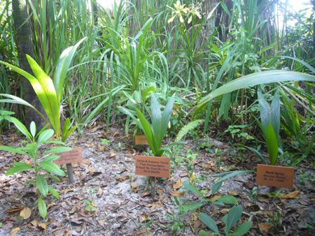 dédicaces arbres Coco Palm