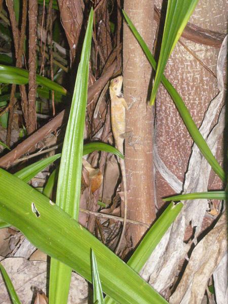iguane Coco Palm