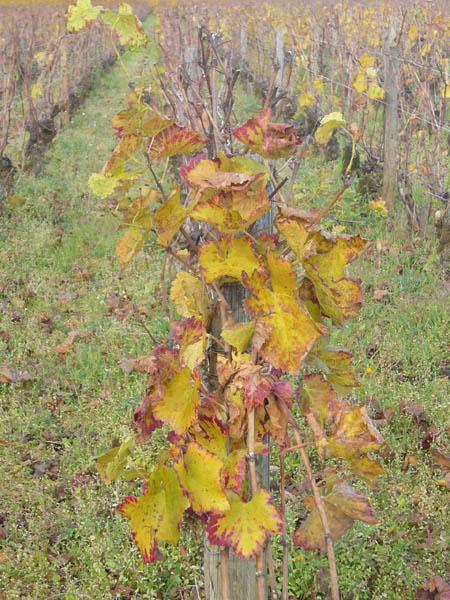 vignes dorées côte de Beaune