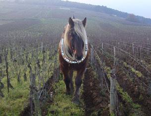 Balade hivernale dans les vignes