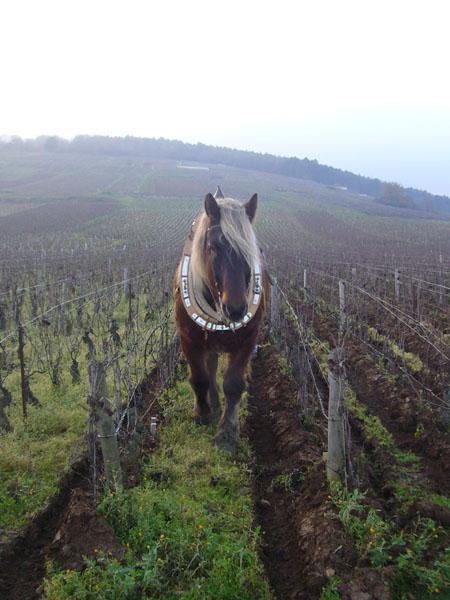 Labour à cheval dans les vignes du Richebourg