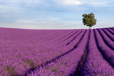 champs de lavande, en Provence